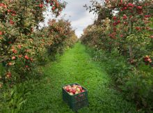 Local orchard to find make apple recipes